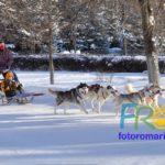 Собачья упряжка запряжённая сибирскими Хаски
