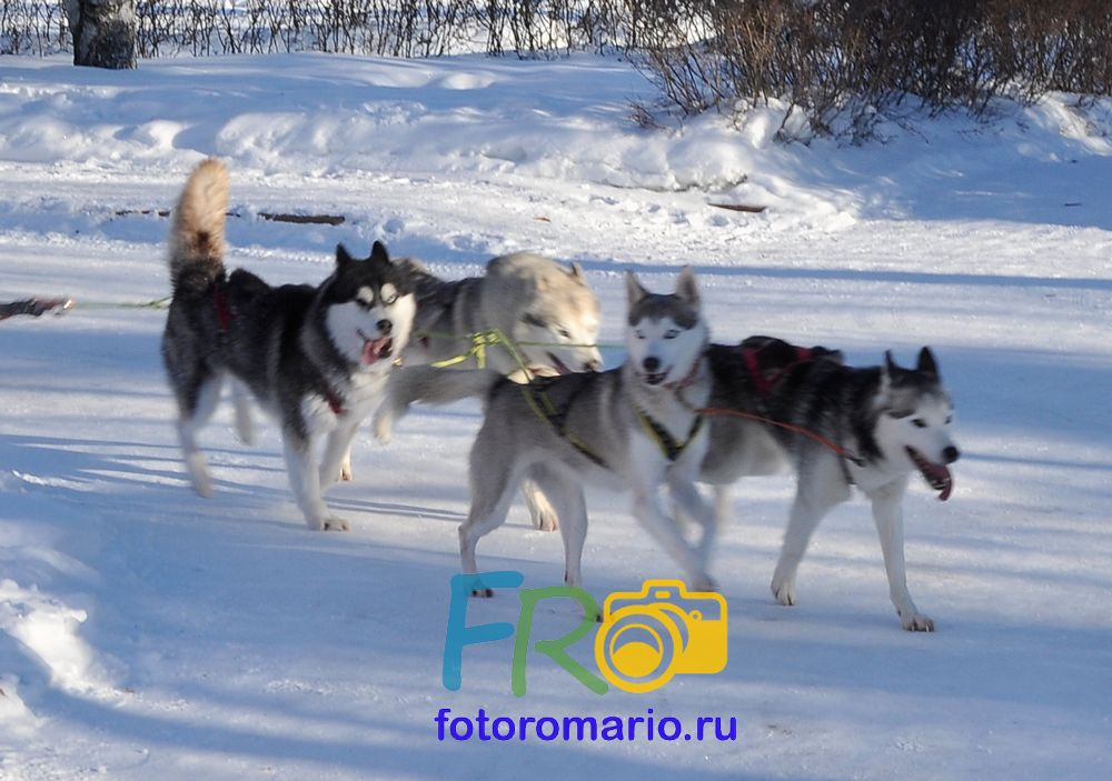 Катание на сибирских Хаски